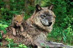 mommy and baby wolves | baby wolves with mother