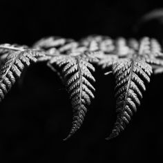 Catching the light a fern basks in the midday sunlight filtering into the woodland floor  #blackandwhite #monchorme #bnw #blackwhite #blackwhitephotography #monoart #monochromephotography #bwphotography #fern #noclour #mycanon #canonuk