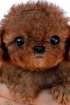 red maltipoo!! MUST have!