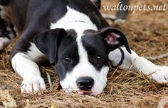 Meet DIEGO, a Petfinder adoptable Pit Bull Terrier Dog   Monroe, GA   See www.waltonpets.net for adoption & rescue procedures and the adoption application.