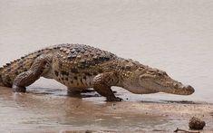 Cocodrilo (Familia Crocodylidae)