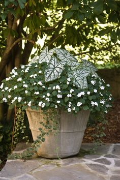 Pretty container gardening - Caladius and impatiens