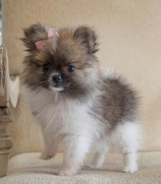 Teacup pomeranian, why did I never put bows like this in Roxy's fur? #pomeranian