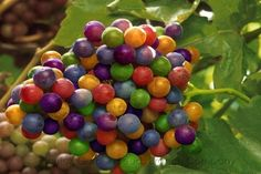 Rainbow Grapes - Aliexpress.com : Buy 5 packs, 15 seeds / pack, Rainbow Grape, New ...