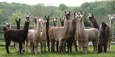 Why Llamas Could Be Holding The Secrets to HIV/AIDS Vaccine and Cure