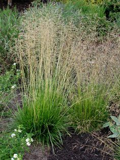 Tufted Hair Grass is another Central Oregon native and I love its graceful presence and somewhat arching shape. It does well with a medium water and I like to plant it in masses, mixed in with perennials or where it can catch the afternoon sun. Sun Plants, Fall Plants, Garden Plants, Mountain Ash Tree, Landscape Design, Garden Design, Front Flower Beds, Shade Grass, Rain Garden
