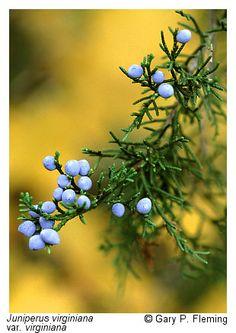 Juniperus virginiana L. var. virginiana