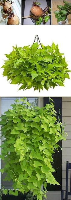 how to grow sweet potato vines; one woman commented that she digs up her purple ornamental vines in fall, dries out the tubers and then sprouts them in spring. Free purple sweet potato vine after the year! Potato Vine Plant, Garden Plants, Indoor Plants, Potted Plants, Porch Plants, Garden Shade, Growing Sweet Potatoes, Dream Garden, Lawn And Garden