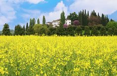 Summer in Italy By Elena Riim.  Landscape of Yellow Flower Field With House on the Hill.