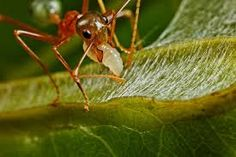 Resultado de imagem para oecophylla ants