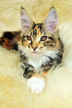 Maine coon kitten-  :)