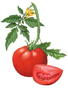 Botanical illustration of a tomato branch with a whole tomato, one cut tomato wedge, a tomato flower, and leaves.