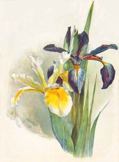 bumble button: Irrisistable Iris.18th century Botanical prints,early 1900's antique postcards and photographs. Free clip art