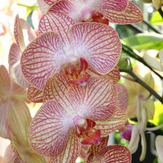 The New York Botanical Garden #orchidnybg #orchidelirium @nybg #orchids #orchid  2016-3-9 Orchids_photo by Lia Chang-3199