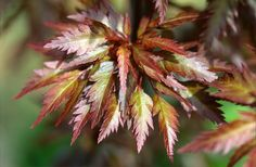 "Acer palmatum 'Manyo no sato' ""Momiji"" means Japanese maple in Japanese. I've been itching to get to today's blog ..."