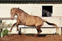 brown double pearl - Andalusian x Lusitano stallion Oro Mafioso [DNA tested]