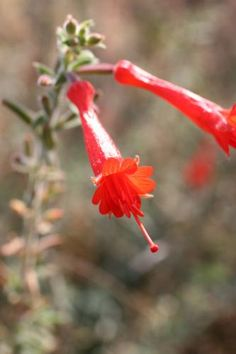 Epilobium canum. Nom commun : Fuchsia de Californie.  Synonymie : Zauschneria cana , Zauschneria garrettii, Epilobium cana subsp. garrettii    Feuilles caduques, grises, étroites et duveteuses. Touffe qui s'étend grâce à des rhizomes souterrains. Fleurs tubulaires rouge orangé vif. L'intérêt principale de cette plante, à l'exception de la couleur gris mat de ses feuilles, est sa longue floraison estivale qui peut s'étendre jusqu'à l'automne.    Origine : Centre et sud de la Californie.