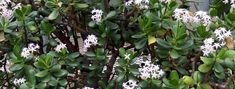 Tlustice – pěstování a léčivé účinky - RadyBydleni.cz Bonsai, Plants, Cactus, Plant, Planets, String Garden