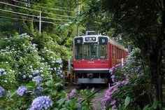 Hakone Tozan Railway Train and hydrangea