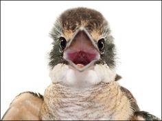 Sacred Kingfisher Headshot - bird photography print by nature photographer and wildlife carer Angela Roberston-Buchanan. Australian Animals, Weekend Fun, Kingfisher, Wildlife, Owl, Birds, Artist, Nature, Instagram Posts