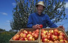 How to Grow Honeycrisp Apple Trees - David Bedford, godfather of the Honeycrisp and apple breeder for the University of Minnesota, describes how to grow Honeycrisp apple trees. (Photo: University of Minnesota )