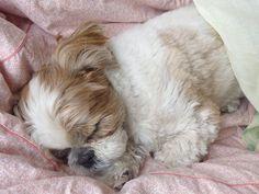 Sweet dreams little Shih Tzu...