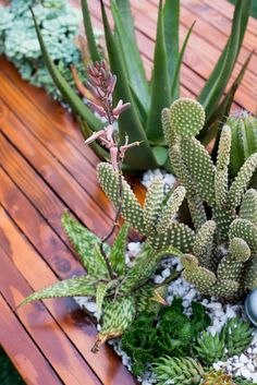 The Horticult - Cute mix for a planter table - bunny ear cactus and aloe rauhii