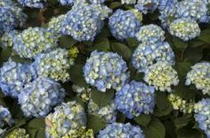 Hydrangea macrophylla in a Florida garden - Pat Canova/Photographer's Choice RF/Getty Images