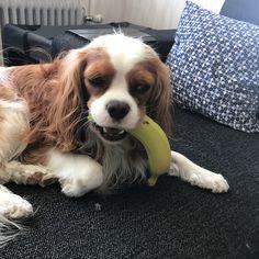 いいね!587件、コメント7件 ― 🇸🇪Lexi and Allanさん(@lexiandallan)のInstagramアカウント: 「Brought a banana back from work. Allan is still trying to find out what to do with it 😂🍌」