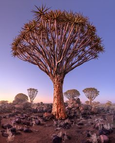 Quiver Forest in the Morning Namibia