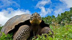 How do we know that evolution is really happening.  Photo: Galápagos giant tortoise (Credit: Bluegreen Pictures/Alamy)