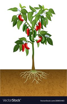 Jalapeno pepper plant vector image on VectorStock Plant Painting, Plant Drawing, Plant Art, Image Fruit, Fruit Crafts, Pepper Tree, Fruit Picture, Plant Tattoo, Gardens