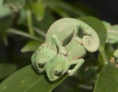 10 filhotes de camaleão que vão te fazer se apaixonar por estes lagartos   HypeScience