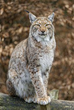 Eurasian lynx (Lynx lynx) sitting on the branch II