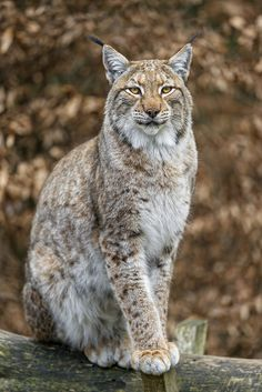 Eurasian lynx (Lynx lynx) sitting on the branch II