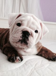 Adorable Bulldog puppy!