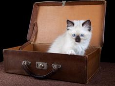 Amazing+Funny+Pictures | Ragdoll Kitten Funny Widescreen Amazing Funny Widescreen HD Wallpapers
