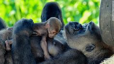 Baby Adelina, the baby girl gorilla at the Little Rock Zoo, is Arkansas' most popular primate.