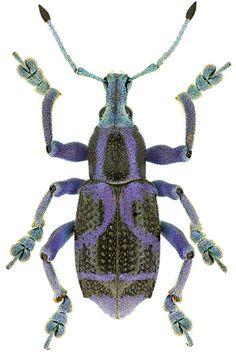 http://www.smnk.de/sammlungen/entomologie/kaefer/