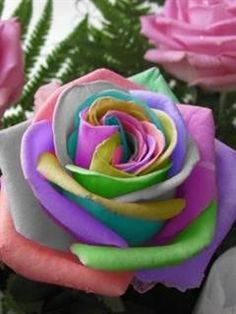 Flower seeds Bonsai 50 pcs Semillas Rosa Rainbow Cream Rose Seeds Home & Garden Beautiful Rose Flowers, Unusual Flowers, Rare Flowers, Amazing Flowers, Angel Flowers, Unique Roses, Ronsard Rose, Rainbow Flowers, Colorful Roses