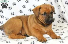 Thunder, Boxer Mix for sale from Morgantown, PA