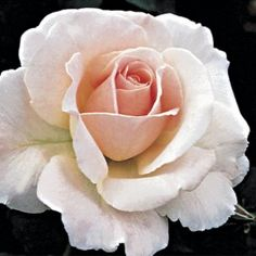 Renaissance rose strong scent