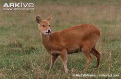 Chinese Water Deer - a small deer superficially more similar to a musk deer than a true deer. Native to China and Korea