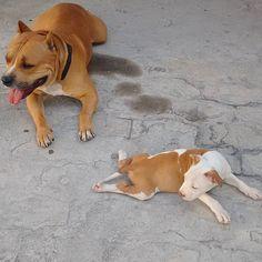 Enjoying their time #Liothebully #bully #mydog #mypup #APBT #strongdog #sleepyhead #handsomedog #pitbulllove #pitbullofinstagram #dogsofinstagram #pitbull #respectforpitbulls #dontbullymybreed #reflectsmypersonnotitsbreed #happypup #doggystyle #dogsrule #