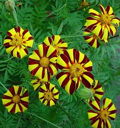 Marigolds - Possibly the Hardest Working Flowers in the Garden