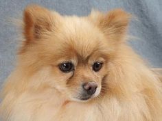 Adopt Wyatt, a lovely 4 years  10 months Dog available for adoption at Petango.com.  Wyatt is a Pomeranian and is available at the National Mill Dog Rescue in Colorado Springs, Co.  www.milldogrescue.org #adoptdontshop  #puppymilldog   #rescue  #adoptyourfriendtoday