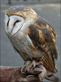 Barn Owl by naturealbeing on Flickr.