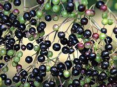 Fekete bodza gyógynövény Fruit, Food, Essen, Meals, Yemek, Eten