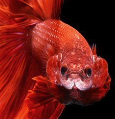 Stunning Portraits of Colorful Siamese Fighting Fish - My Modern Metropolis