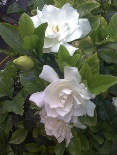fiori di gardenia